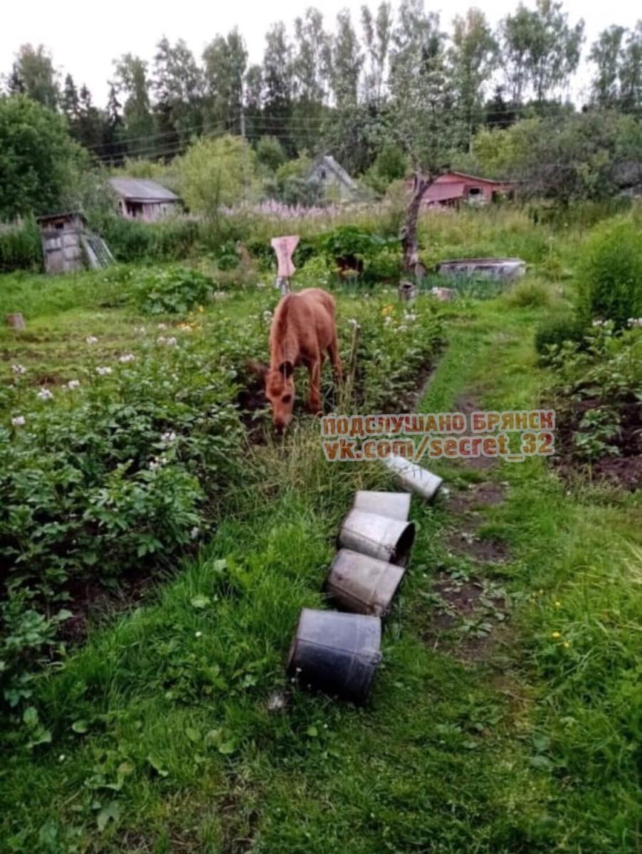 У жительницы Брянска по огороду бегает лосенок