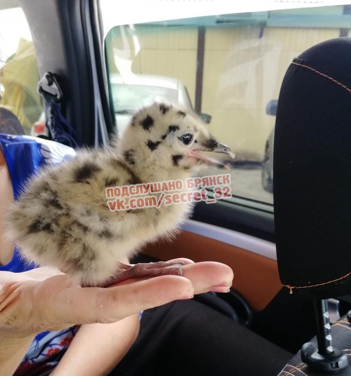Брянцы нашли необычного птенца и увезли с собой в душном автобусе
