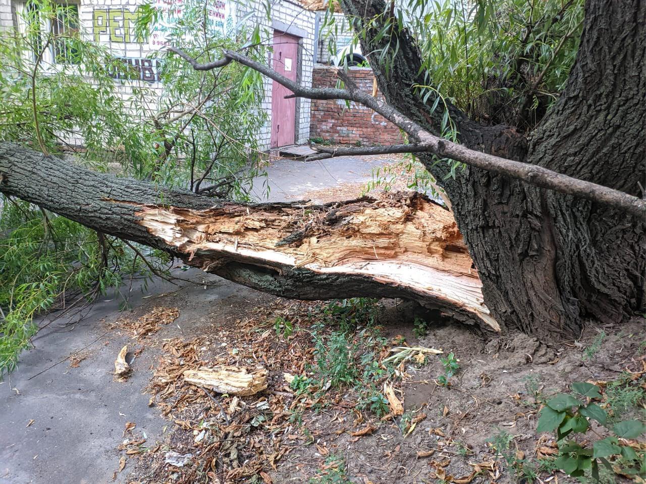 В Брянске во дворе многоэтажки на улице Костычева рухнуло дерево