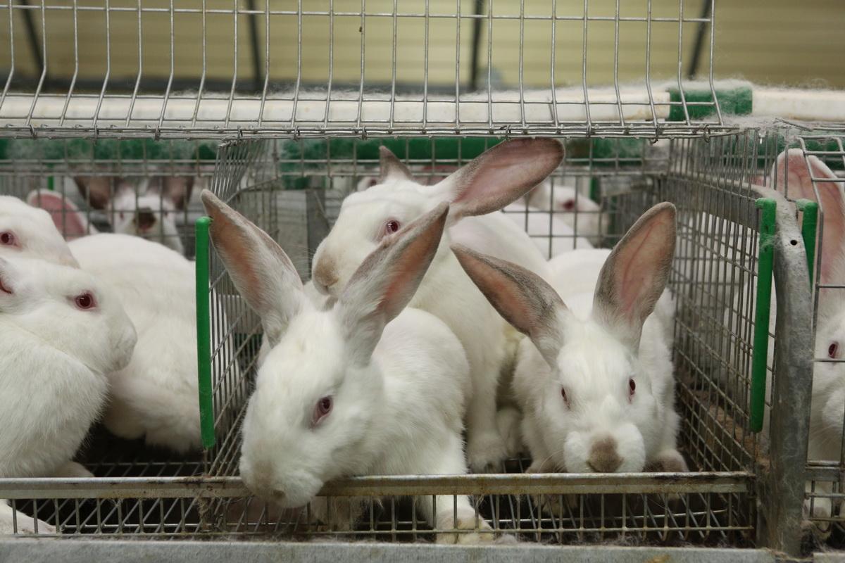 В Брянской области инвестируют 1,9 млрд рублей в кролиководческие фермы