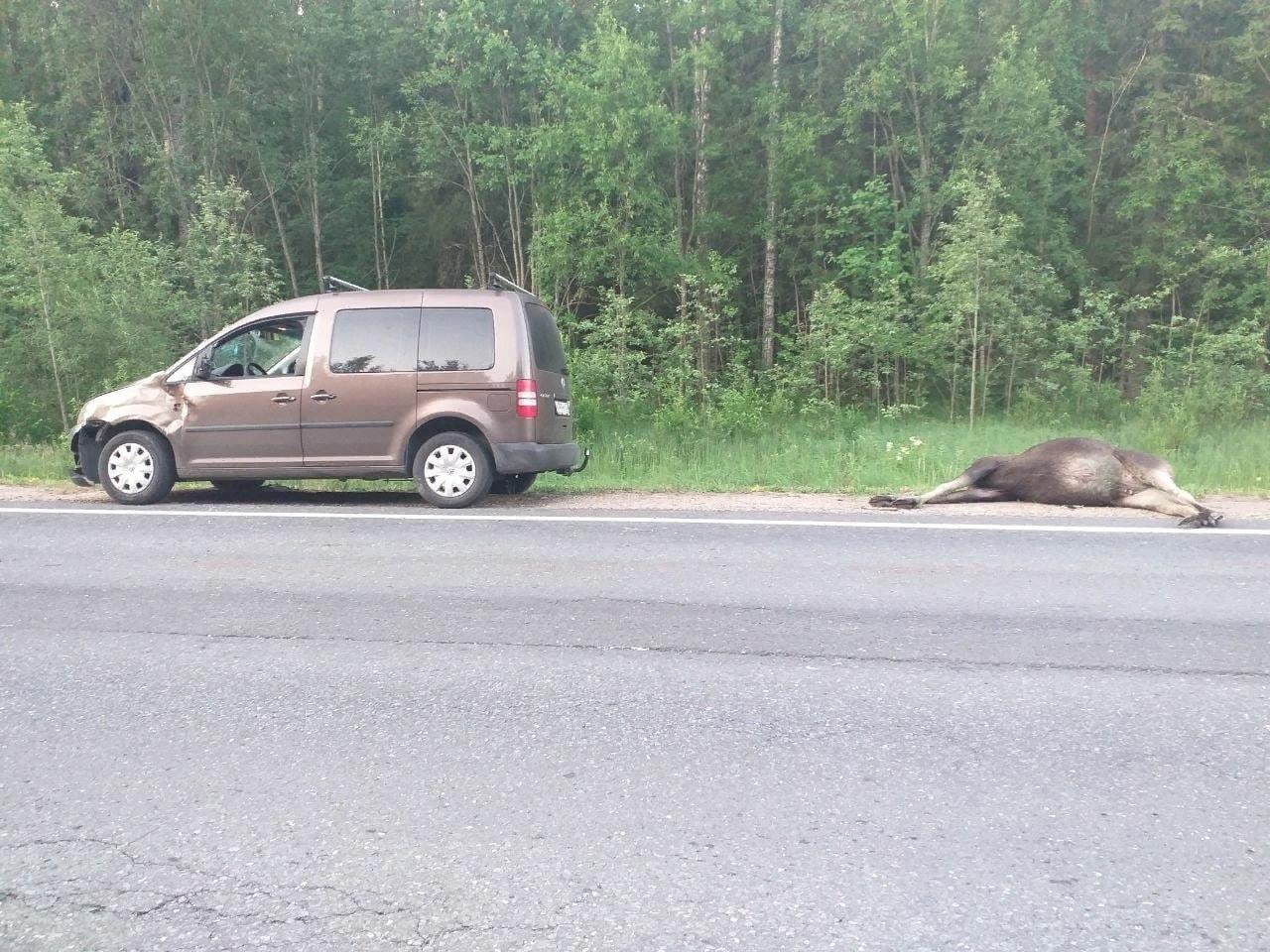 Под Брянском легковой автомобиль сбил насмерть лося