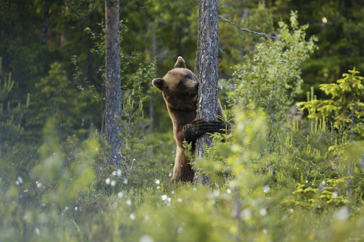 В заповеднике «Брянский лес» сняли на видео медведя-подростка