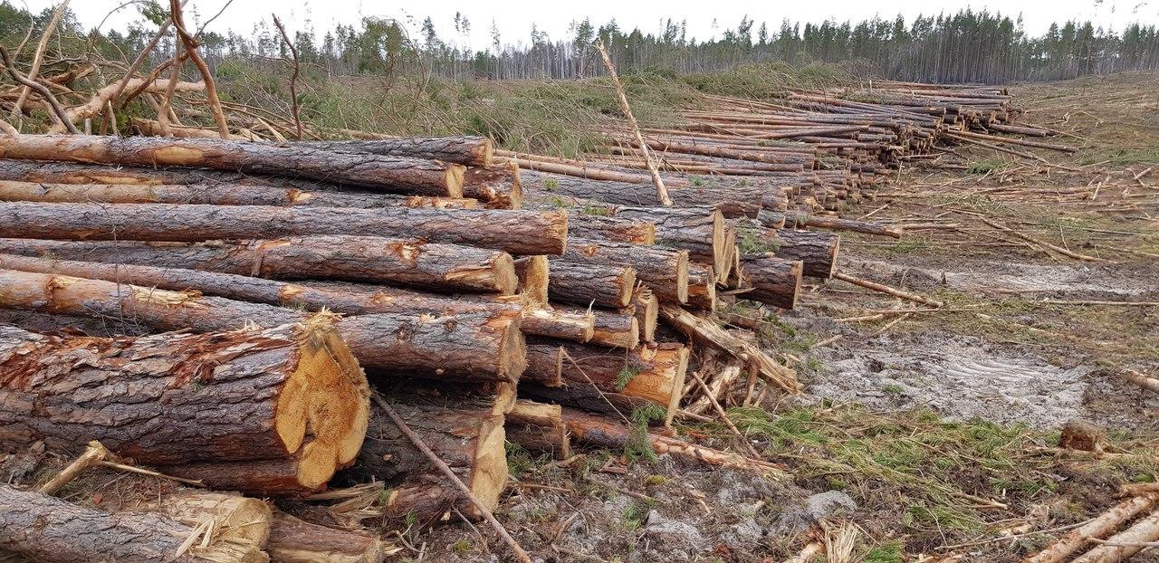 Управление лесами Брянской области прокомментировало вырубку леса в поселке Стяжное