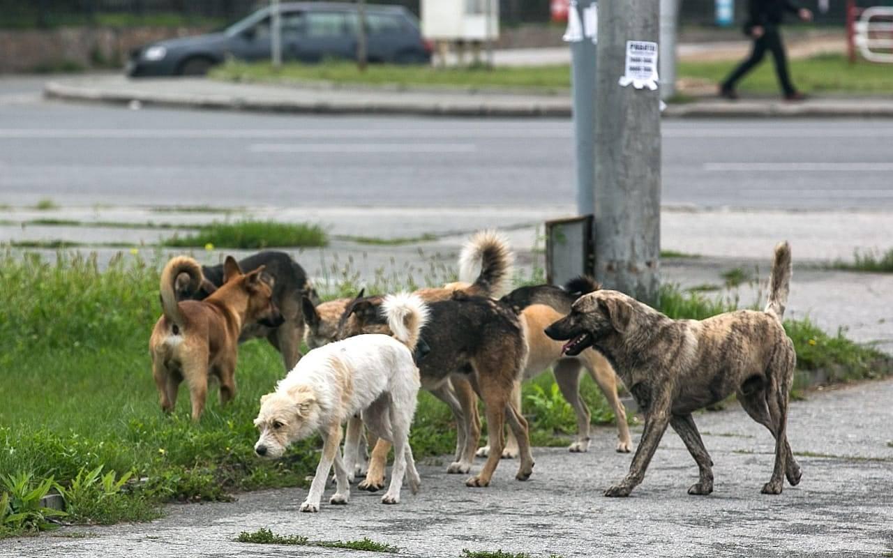 В Брянске стая бездомных собак держит в страхе три улицы Советского района