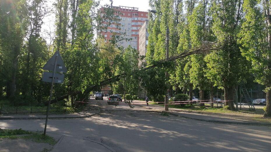 В Брянске гнилое дерево рухнуло на тротуар по улице 3-го Интернационала