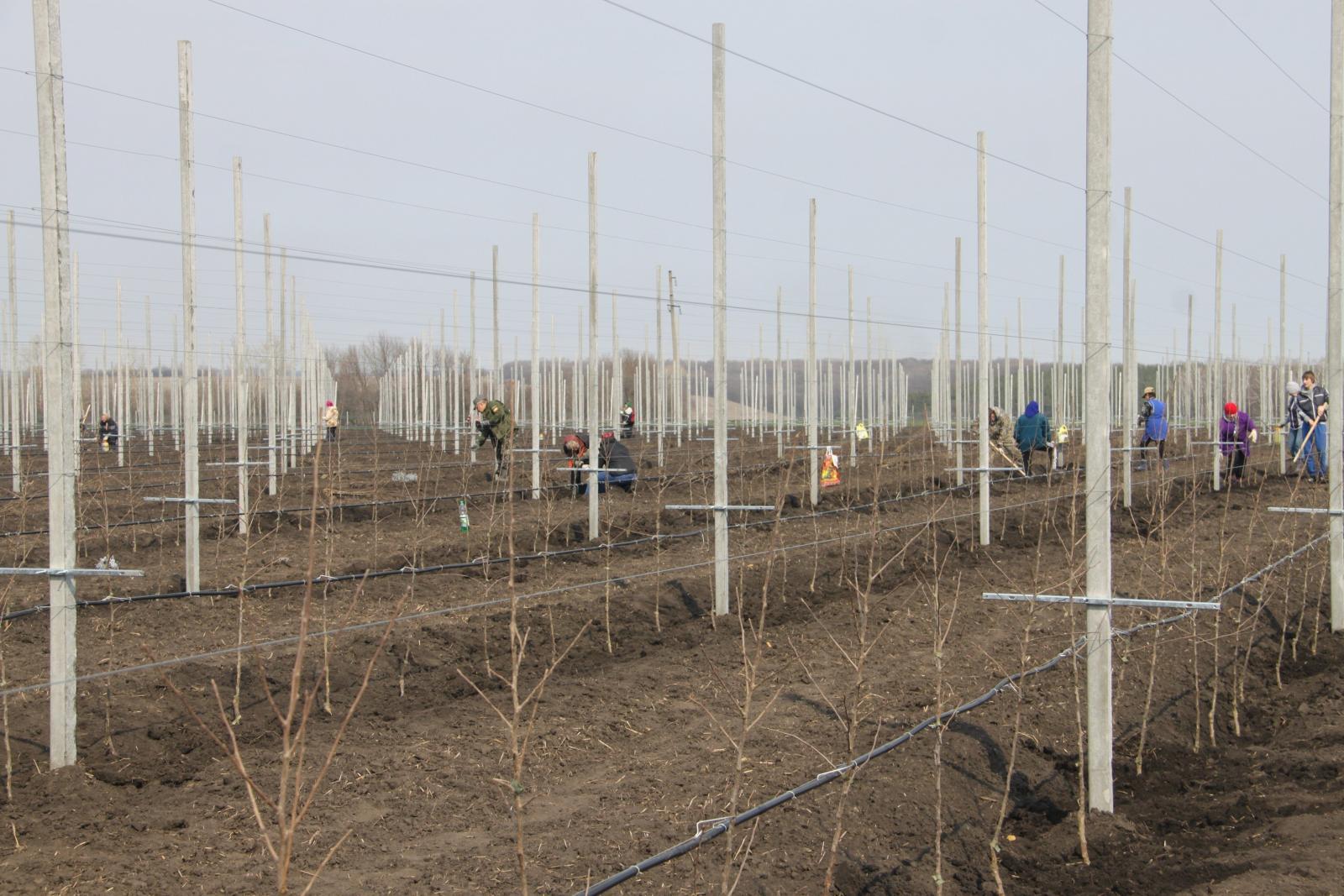 В Брасовском районе заложили фруктовый сад в 90 гектаров