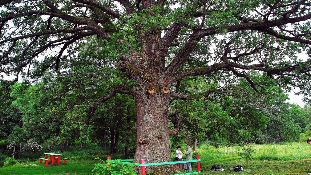 В конкурсе «Российское дерево года – 2021» лидирует брянский «Ясень-великан»