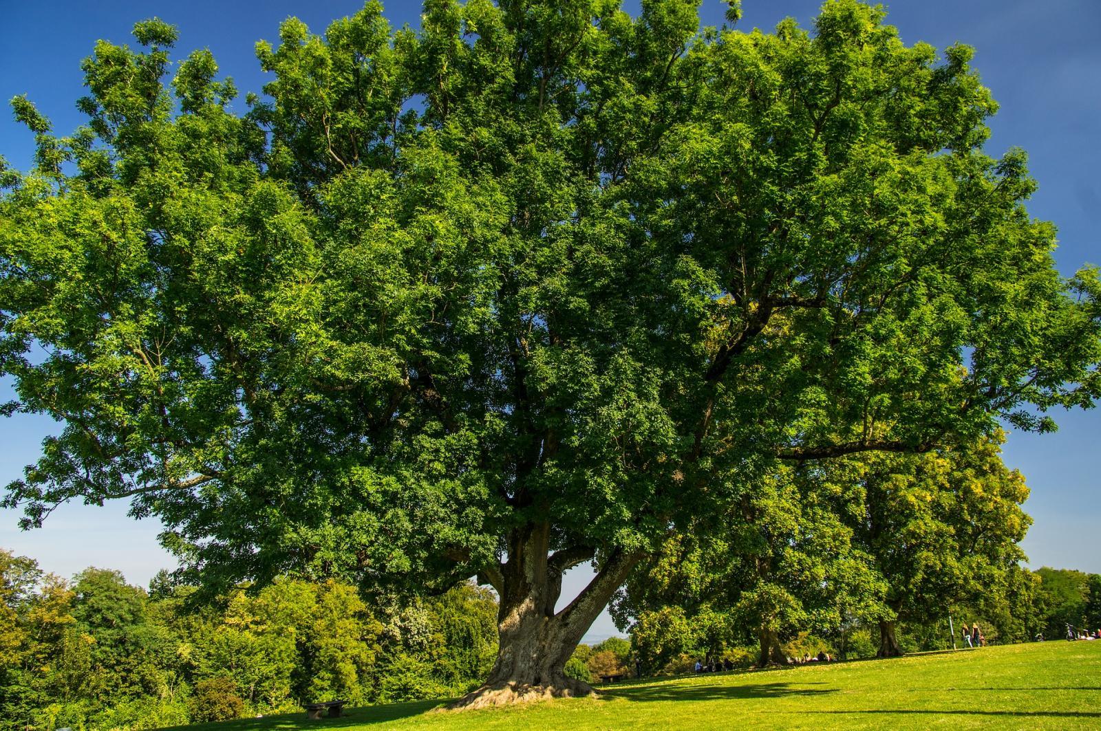 Брянский «Ясень-великан» стал третьим в конкурсе «Российское дерево года 2021»
