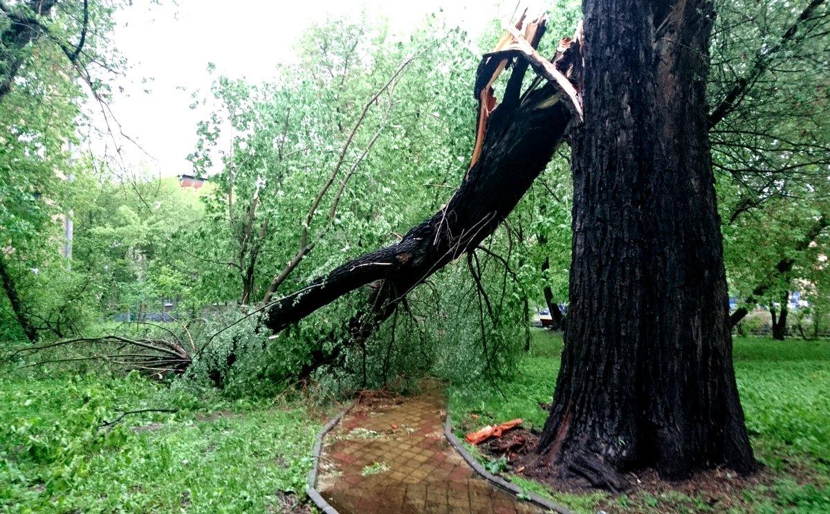 В Дятьково требуют убрать аварийное дерево возле парка
