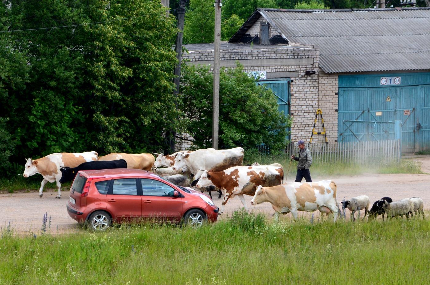Жителей брянского поселка Октябрьский терроризирует стадо быков и коров