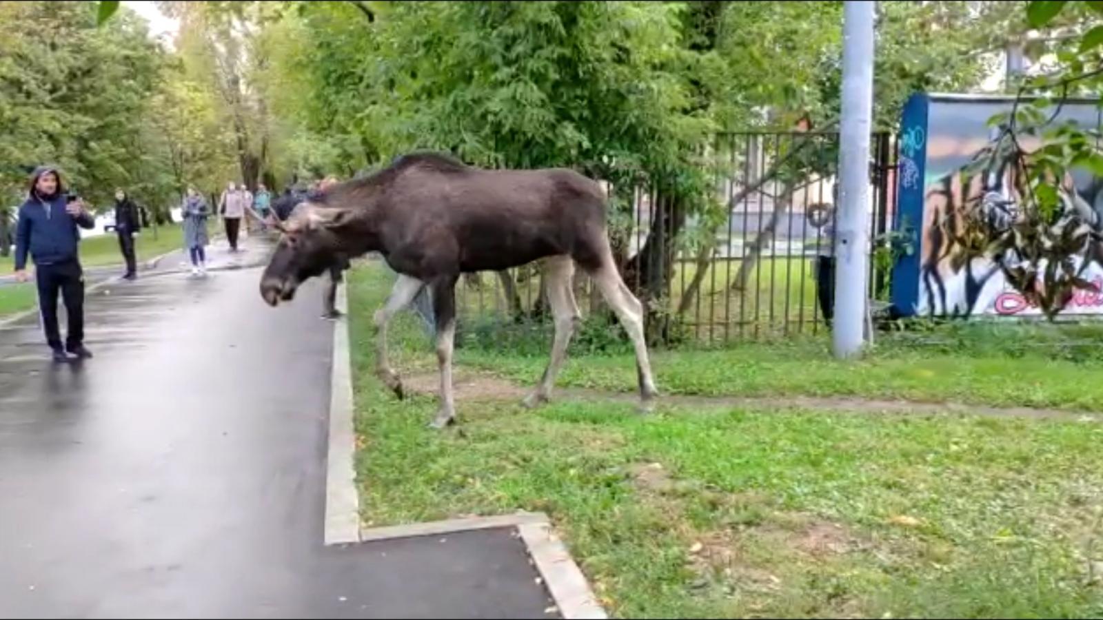 В поселке Мичуринский Брянского района во дворе дома заметили лося