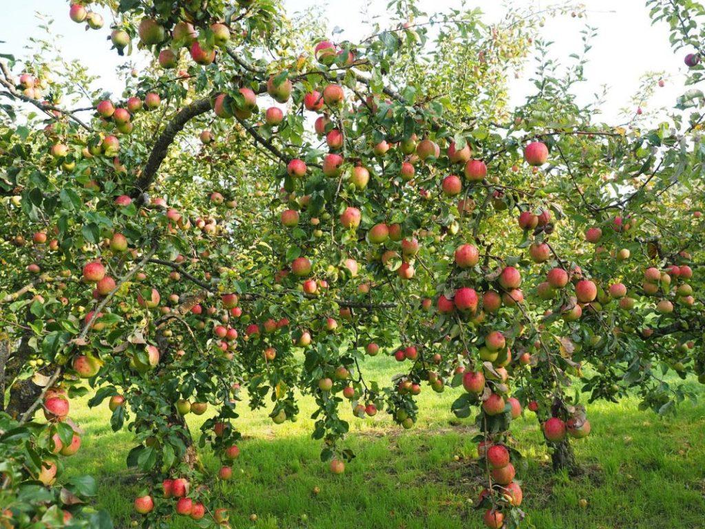 В Брасовском районе заложили яблоневый сад в 90 гектаров
