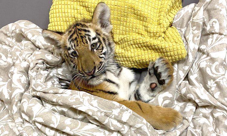 В Брянском цирке родились четыре тигренка
