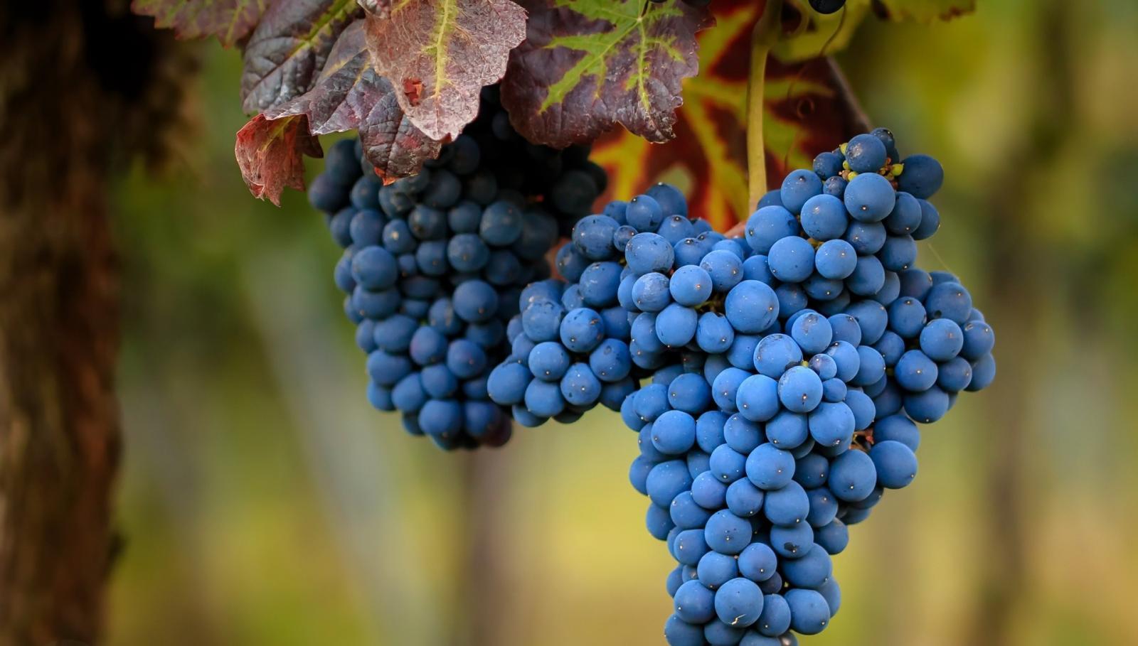 В Брянскую область не пустили почти 20 тонн турецкого винограда