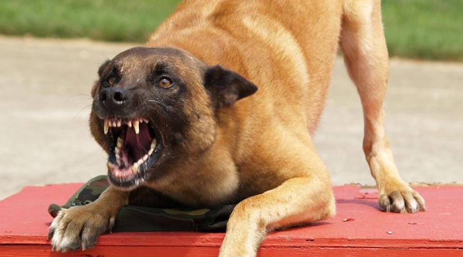 В Брянске СУ СК проводит проверку по факту нападения собак в Бежицком районе