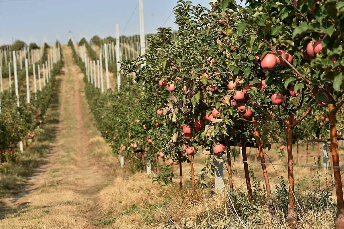 В Брасовском районе закладывают яблоневый сад по современным технологиям