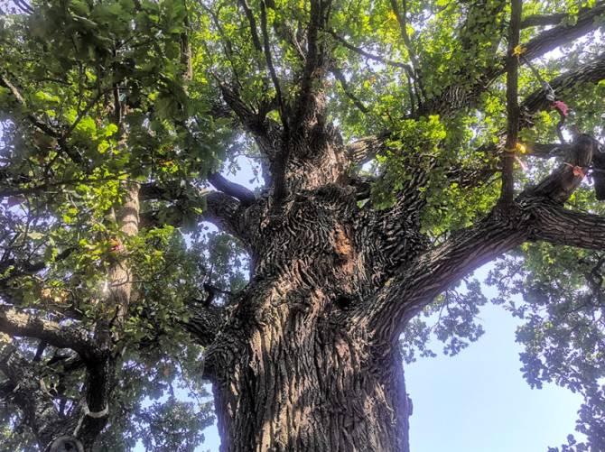 Брянский дуб борется за звание «Дерево года»