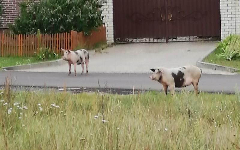 По центру Сельцо гуляют упитанные свиньи