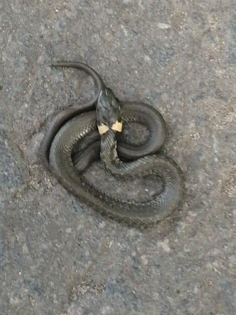 По проспекту Московскому в Брянске гуляет змея