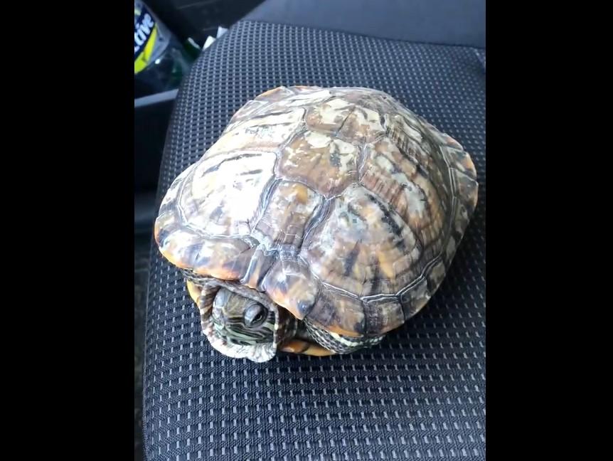 Брянцы подобрали гуляющую по городу черепаху