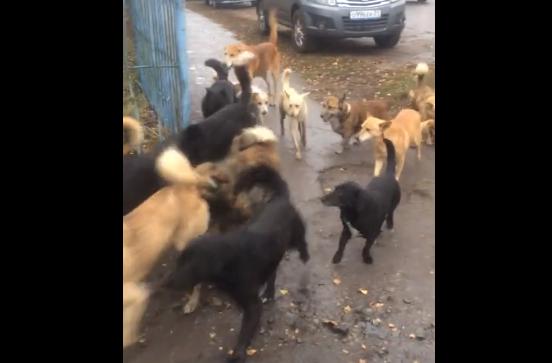 В Брянске сняли на видео жуткую стаю бродячих псов