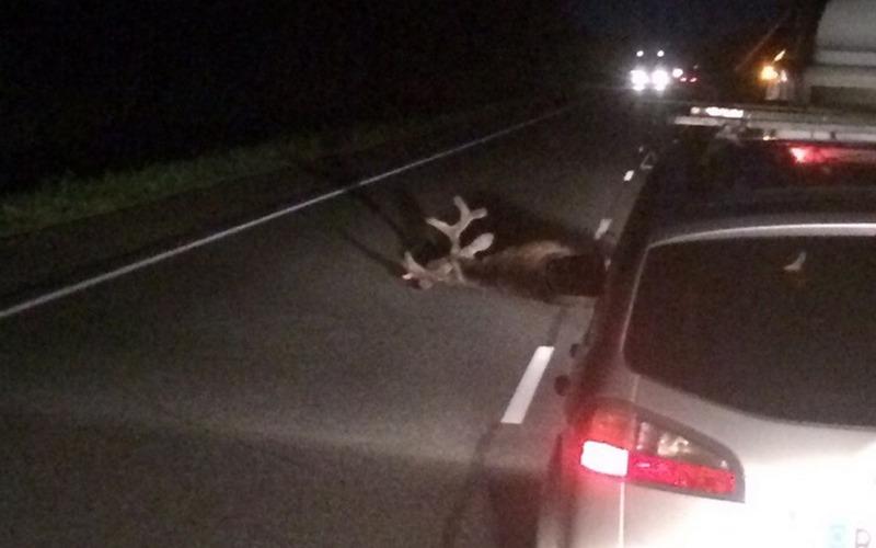 На брянской трассе автомобилист насмерть сбил лося