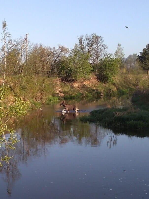 В поселке Большое Полпино по реке бегает лось
