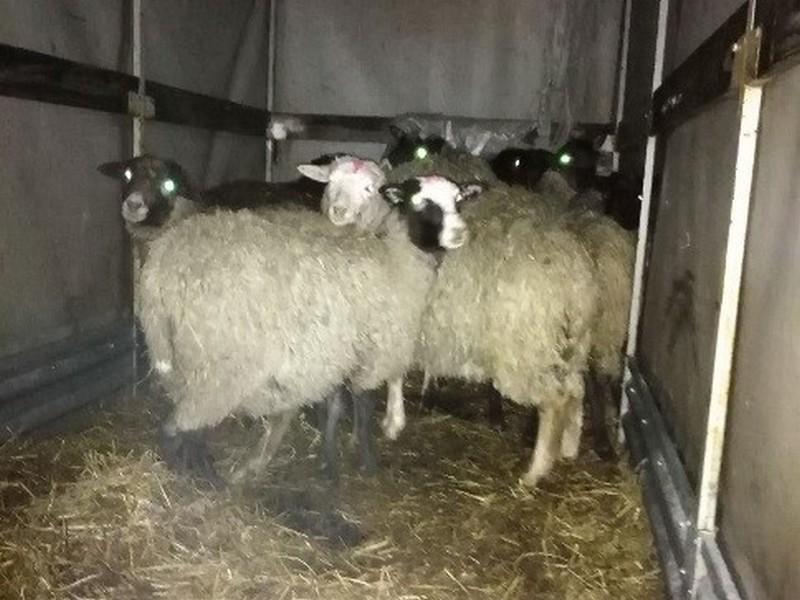 Овцы без документов пытались проехать в грузовике на Брянщину