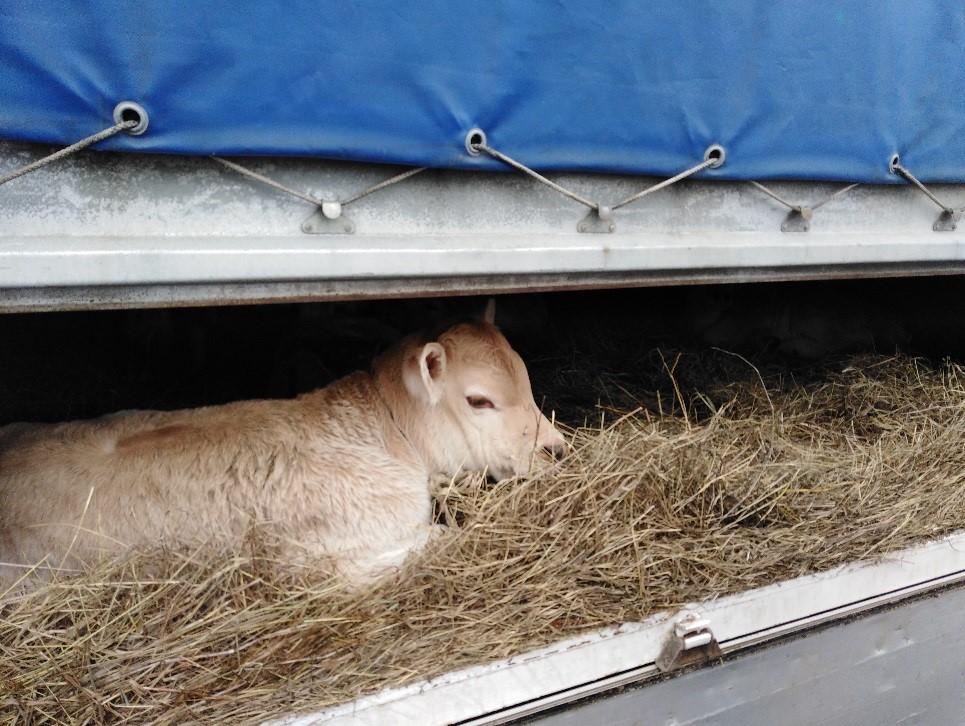 В Брянской области задержали подозрительных представителей рогатого скота