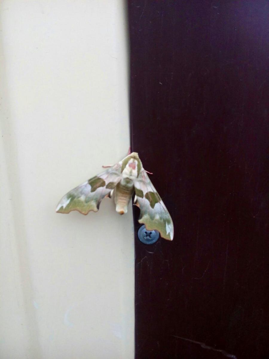 Брянец нашел в своей квартире краснокнижную бабочку