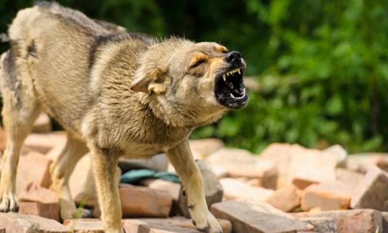В Брянске с начала года поймали 40 бешеных животных