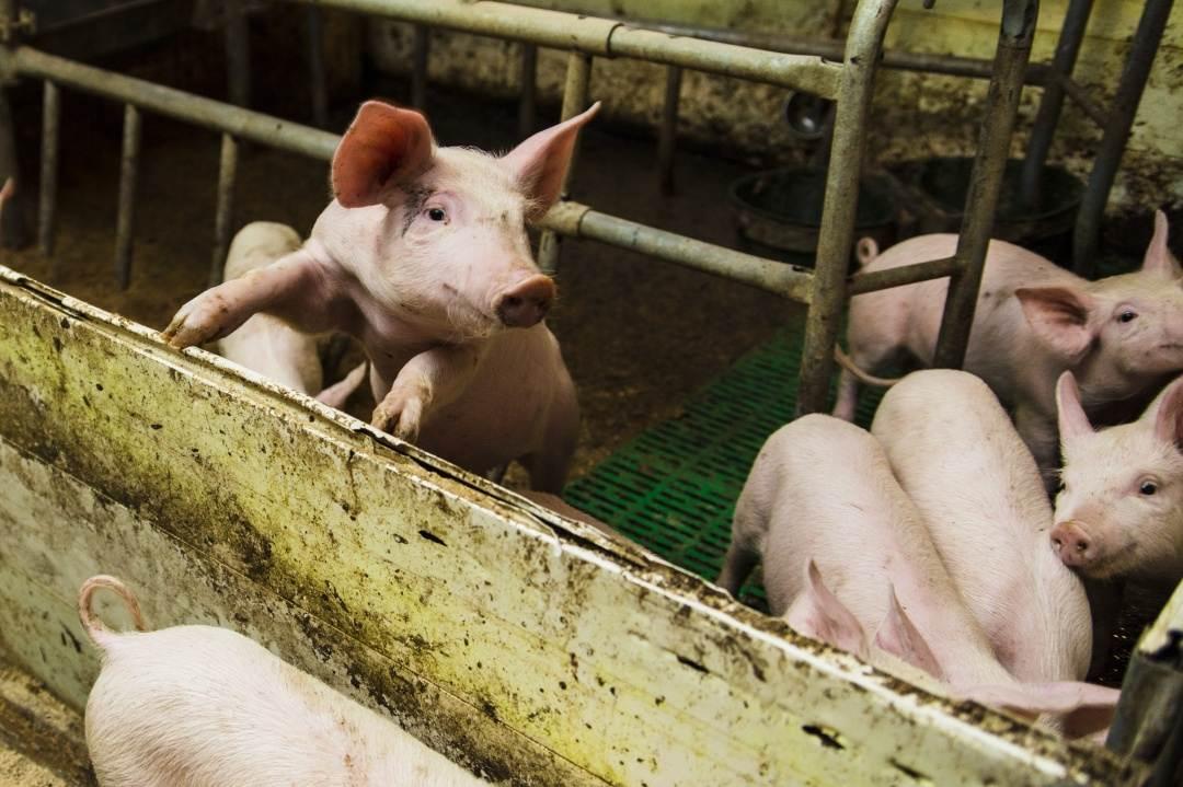 В Брянской области в пяти торговых точках обнаружили вирусы африканской чумы свиней