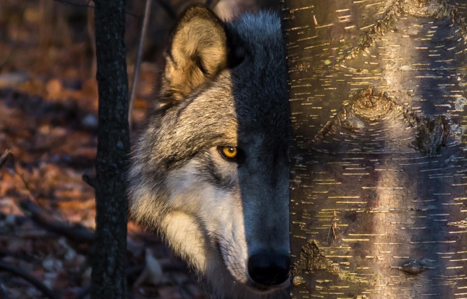 Что-то пошло нетак: поражает странное поведение волка