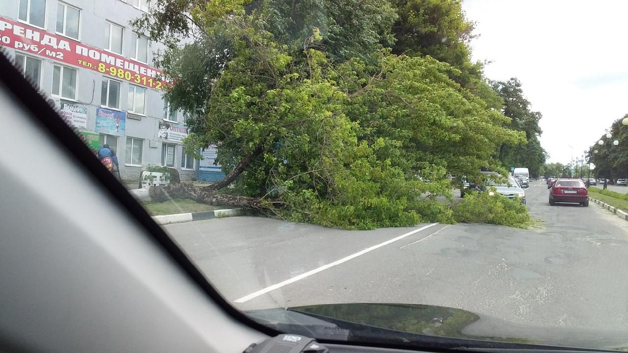 В Дятьково на проезжую часть упало огромное дерево