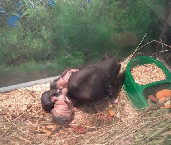 В брянском зоопарке появились на свет свинки скинни