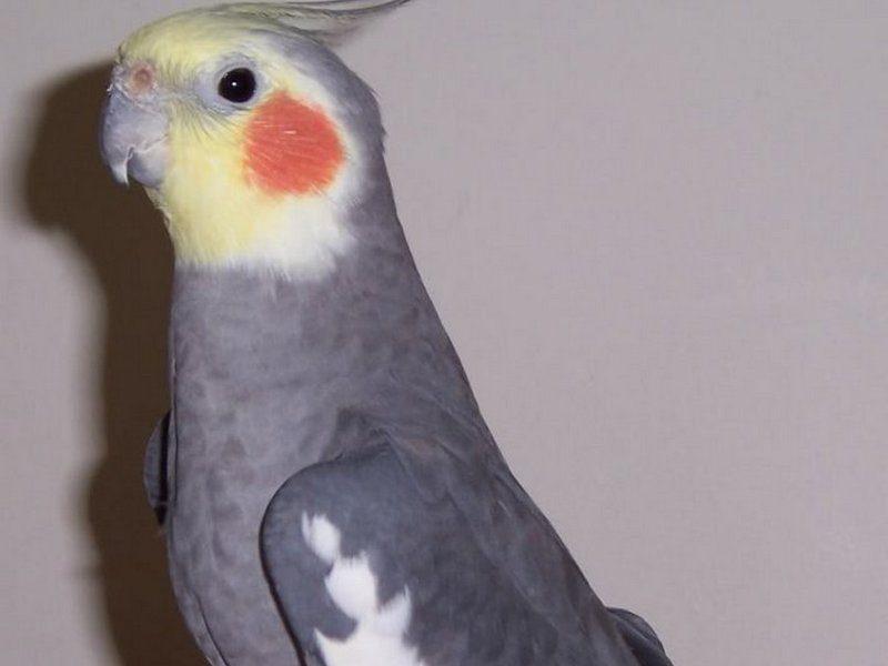 В Брянске объявили вознаграждение за пропавшего попугая