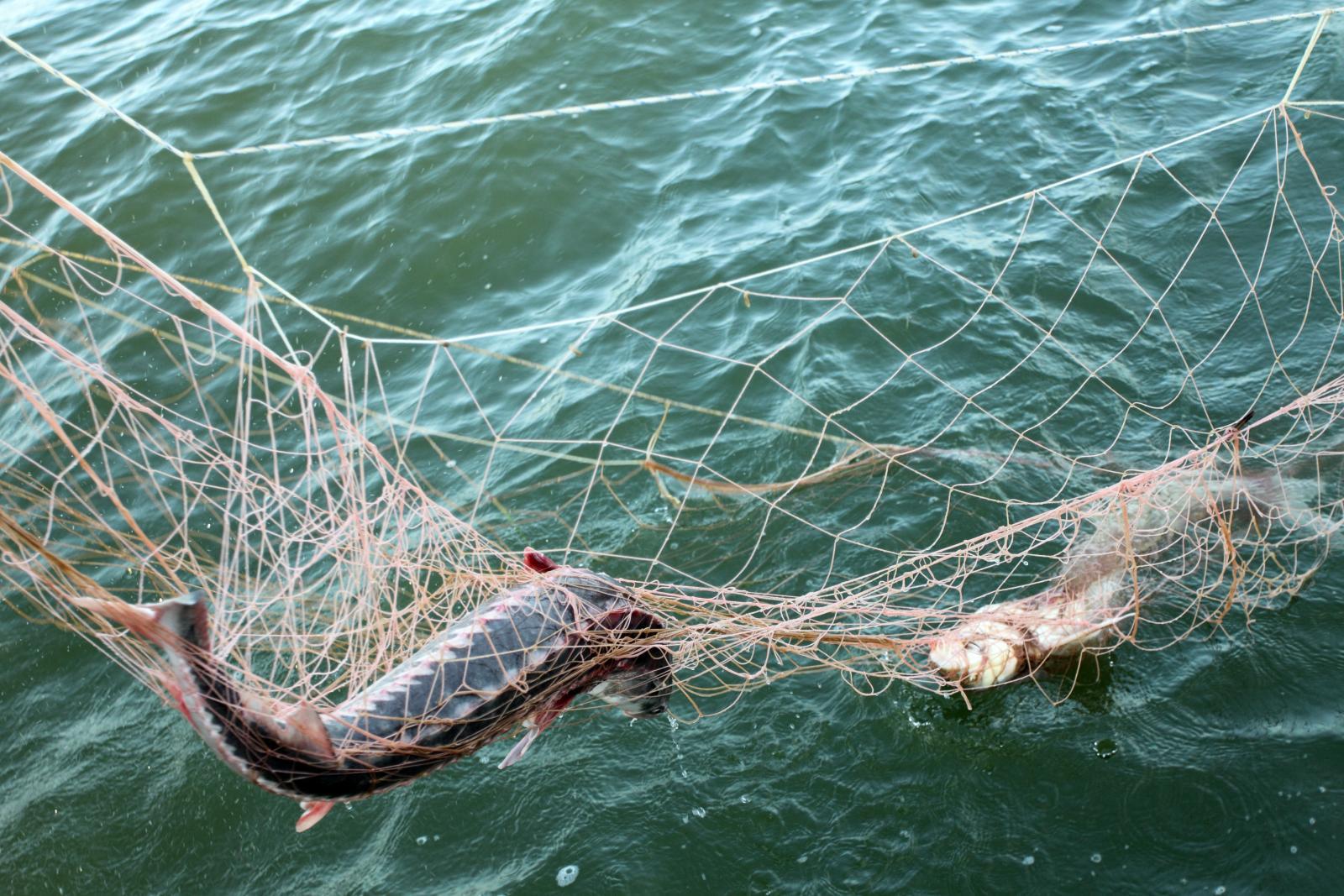 В Клинцах браконьер незаконно выловил 90 карасей