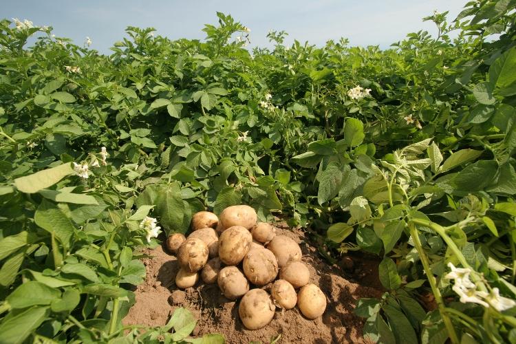На Брянщине улучшится качество картофеля