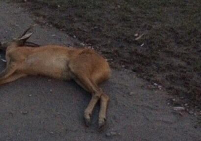 В Брянске таксист насмерть сбил косулю
