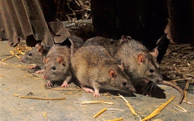 Брянцев атакуют крысы из хлебопекарни