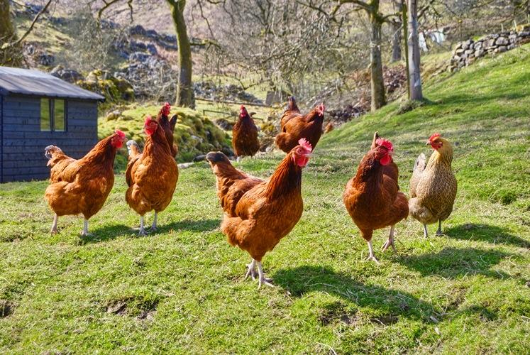 Брянцев пригласили посмотреть на лучшие породы кур