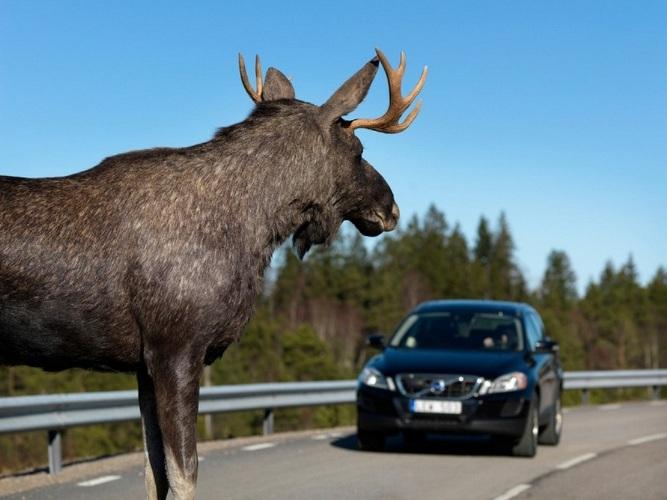Брянским водителям угрожают дикие лоси