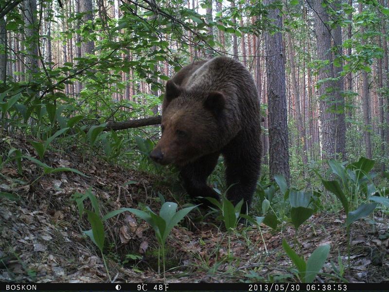 В брянском заповеднике сфотографировали медведя в ландышах
