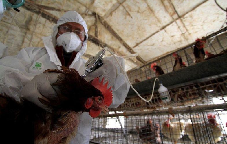 Брянскую область атакует вирус птичьего гриппа