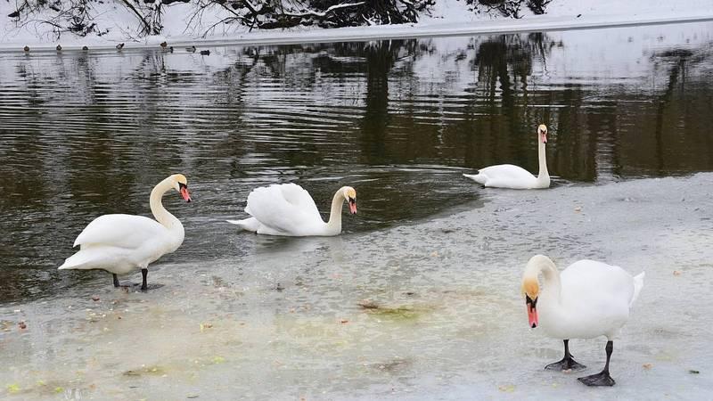 Брянцам предложили посчитать водоплавающих птиц