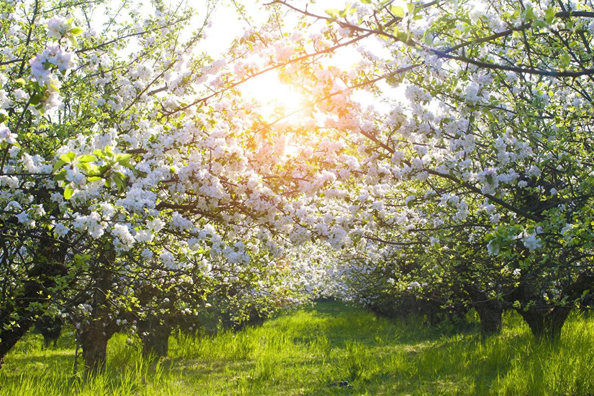 Под Брянском сняли на видео завораживающую красоту яблоневого сада