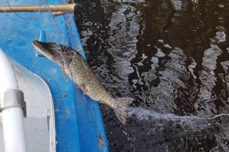 В Белых Берегах спасли целую стаю рыбы