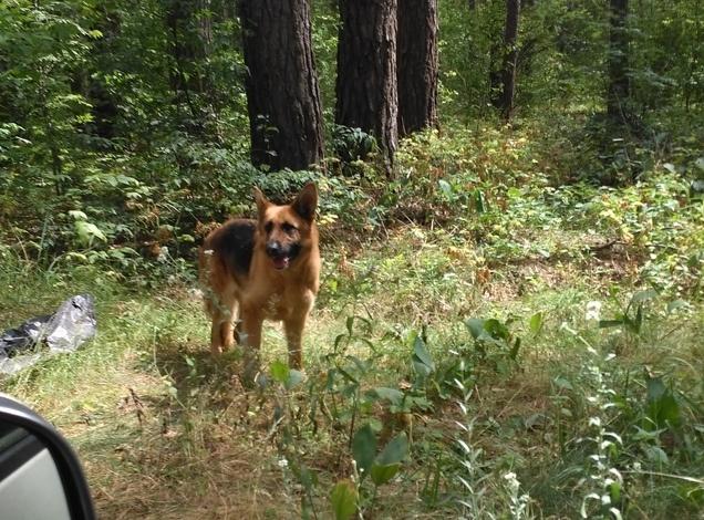 В Брянске брошенную в лесу овчарку забрали кинологи