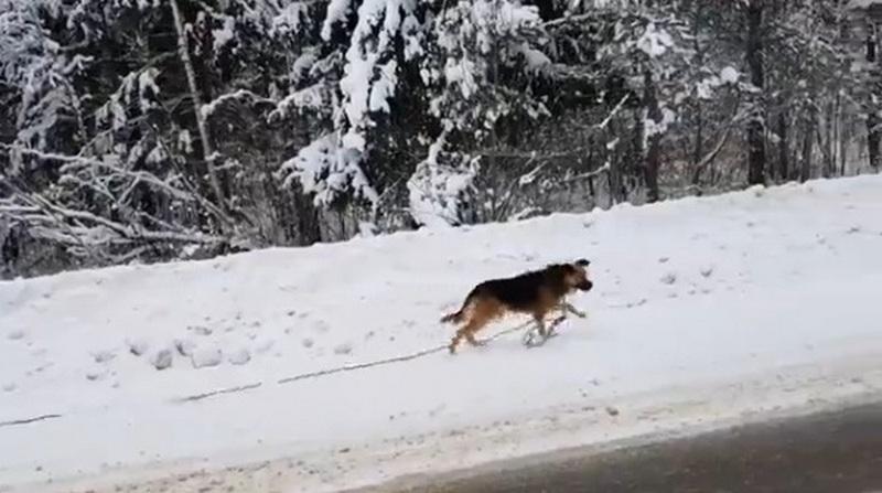Брянские живодеры привязали собаку к дереву и оставили умирать на морозе