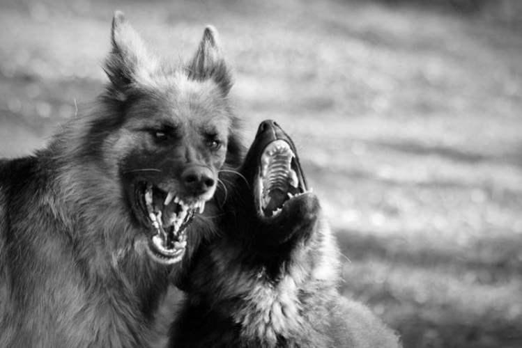 В Брянске стая собак покусала 8-летнюю девочку